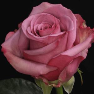 Rose - Cool Water