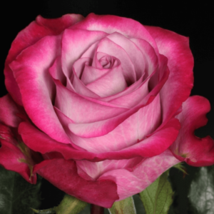 Rose - Deep Purple