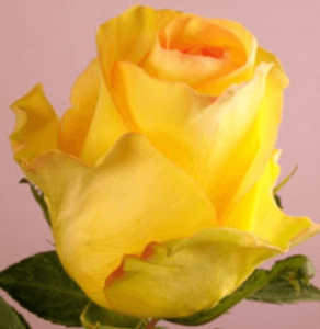 Rose-Deja Vu