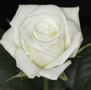 Rose - Eskimo