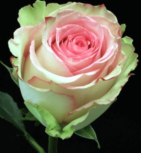 Rose - Esperance
