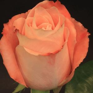 Rose - Fado