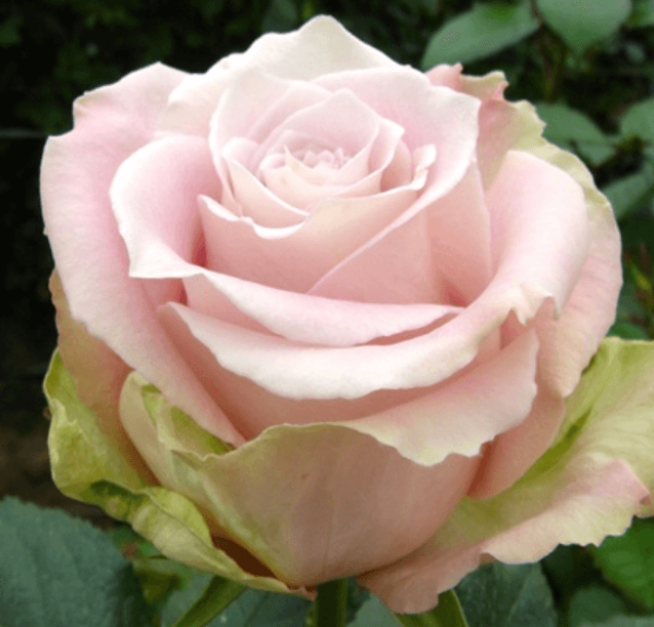 Rose - Faith