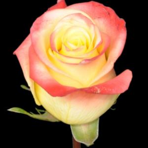 Rose - Florida