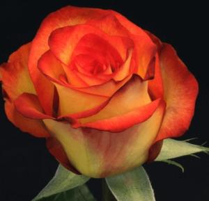 Rose - High & Magic