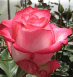 Rose - High & Mya
