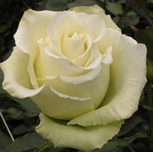 Rose - High & Peace