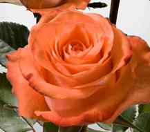 Rose - High & Peach