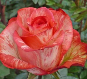 Rose - High & Twinkle