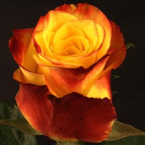 Rose - High & Yellow