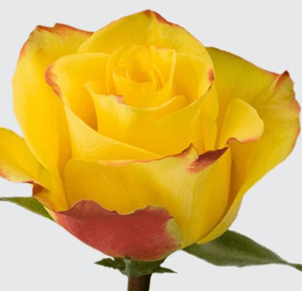 Rose - High & Yellow Magic