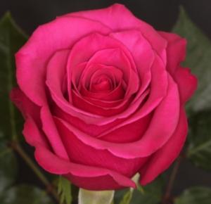 Rose - Hot Princess (Dark Pink)