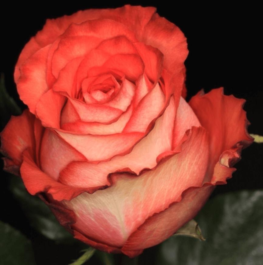 Rose - Iguana
