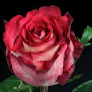 Rose - Iguazu