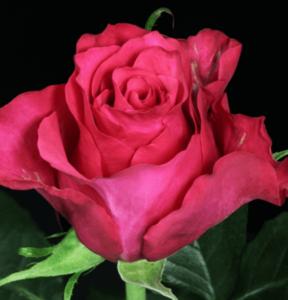Rose - Janeiro (Dark Pink)