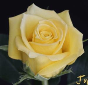 Rose - Jupiter