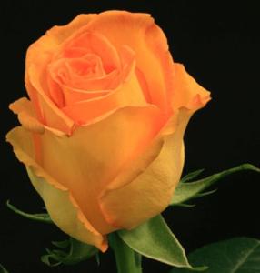 Rose - Kerio