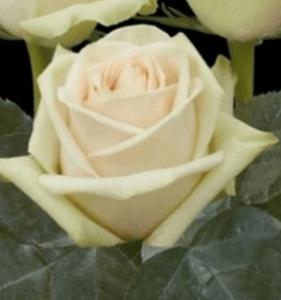 Rose - La Perla
