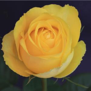 Rose - Latina