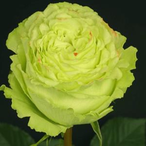 Rose - Lemonade