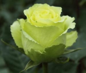 Rose - Limbo