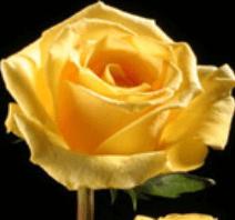 Rose - Lindsey