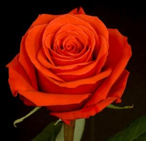 Rose - Nina
