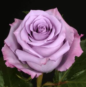 Rose - Ocean Song