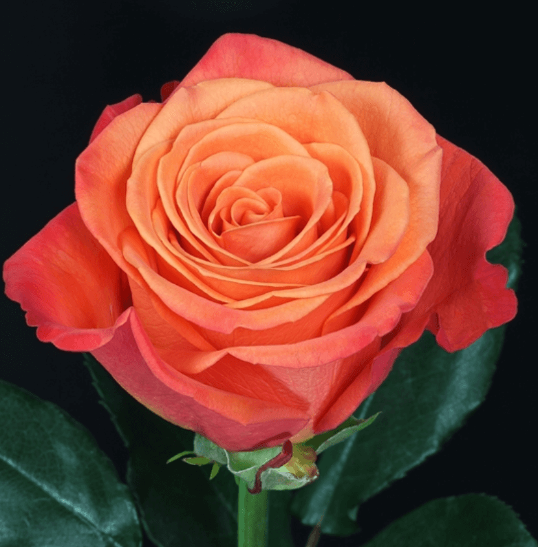 Rose - Orange Crusch