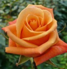 Rose - Orange Unique