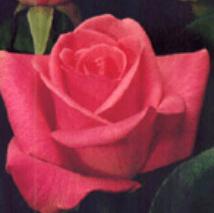 Rose - Orlando (Dark Pink)