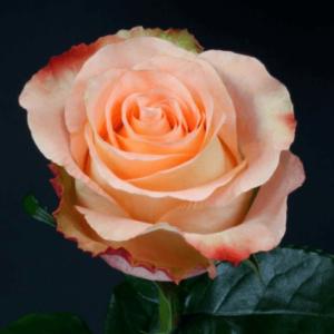 Rose - Peach Audabe