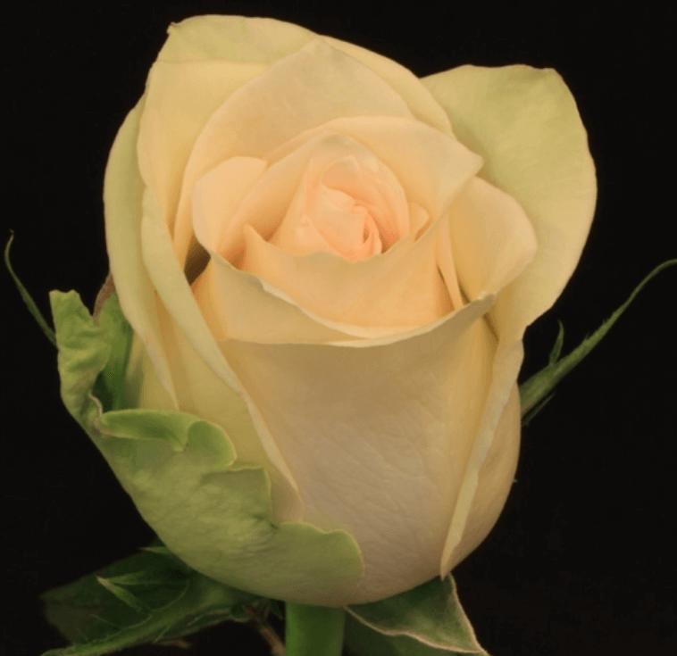 Rose - Perla
