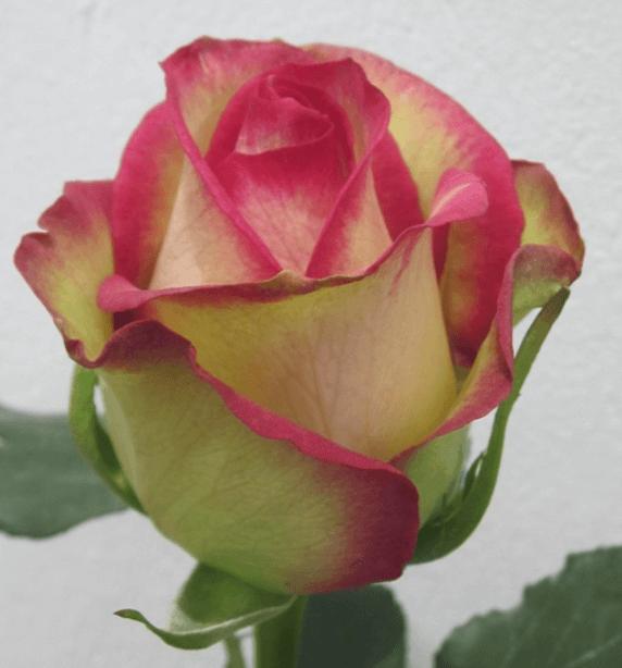 Rose - Primetime