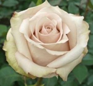 Rose - Quicksand