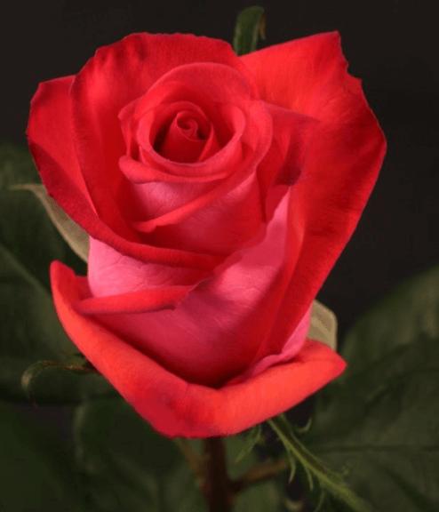 Rose - Raphaela (Dark Pink)