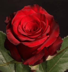 Rose - Red Paris
