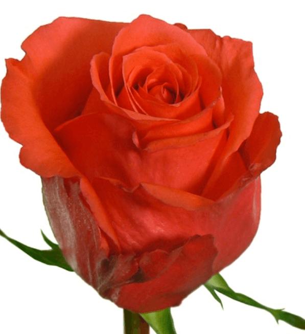 Rose - Rock Star