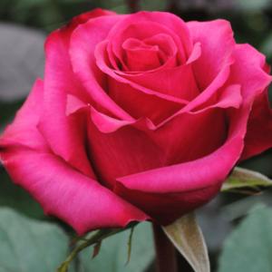 Rose - Roseberry (Dark Pink)