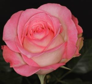 Rose - Rossini