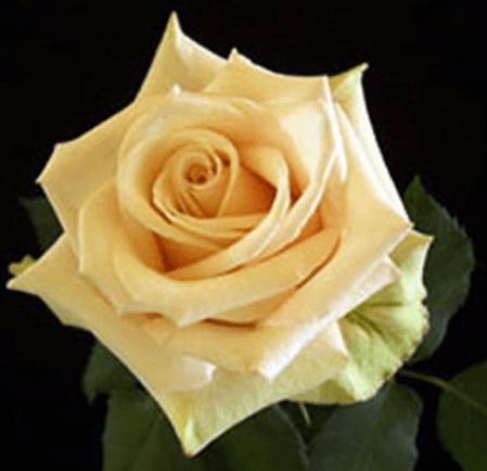 Rose - Sahara