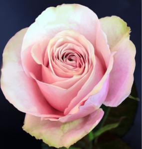 Rose - Secret Garden