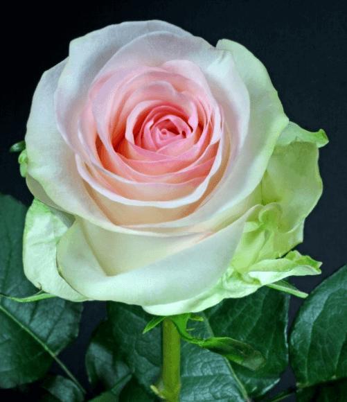 Rose - Senorita