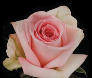 Rose - Sophie