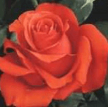 Rose - Star 2000