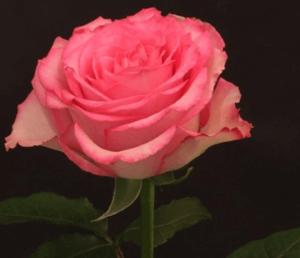 Rose - Sweet Unique