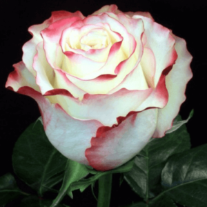 Rose - Sweetness