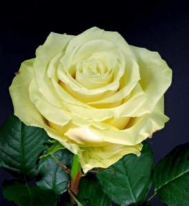 Rose - Takini