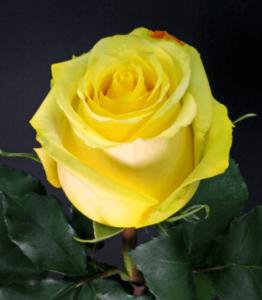 Rose - Tara