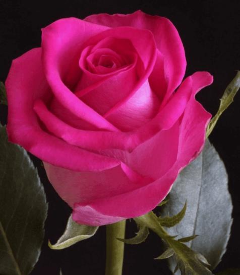 Rose - Topaz (Dark Pink)